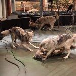 Stuffed wolf exhibit