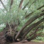 wonderful old trees around the lake