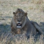 Kalahari male lion sighting