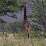 giraffe having a snack