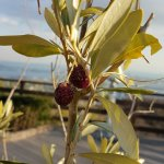 Some wild berry