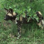 One of a pack of 15 wild dogs seen at Kruger National Park