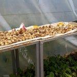 Freshly grown garlic
