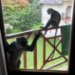 monkeys are an attraction for many