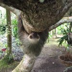A 2-Toed Sloth comes down for a visit