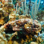 Scorpion Fish are harder to find.