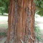 the Sequoia Redwood