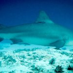 Bull Shark Diving with Al & Keila from Mexico Blue Dream New Year 2017