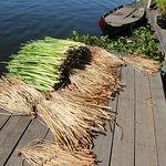 Water hyacinth stalks drying
