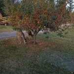 The deer and the horses enjoyed the crab apples beside our cabin.