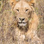 Lion on Safari in Chobe Ntnl Park next to Ngoma Safari Lodge in Botswana