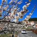 春の人吉梅園・3