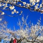 春の人吉梅園・4