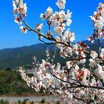 春の人吉梅園・5