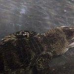 Não sei se é um crocodilo ou jacaré :/