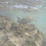 Sea turtle feeding off moss
