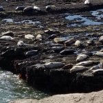 Sea Lions Resting