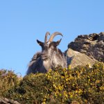 A Wild Goat at the Valley of Rocks nearby