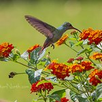 rufous-tailed hummer