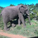 This Elephant just crossed in front of us on the way back to the bush.