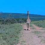 As we observed the Giraffe, it observed us.