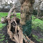 St Fagans National Museum of History, old mulberry tree