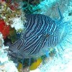 The Splendid Toadfish, endemic to Cozumel.