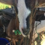 Apple, a goat in Surfing Goat Dairy
