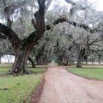 living oak trees