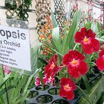 miltoniopsis or pansy orchids