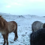 Iceland horses at guesthouse's farm
