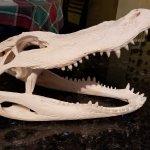 Processed Gator Skull. Awesome job, JP! Thanks!