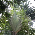 The fan palm. It serves as a directional signal for travellers in the forest.