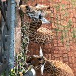 feeding the giraffes in the morning from the terrace outside of the Betsy room in the main house
