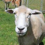 Dudley - the friendliest sheep around :)