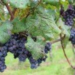 Billede af Suntory Tominooka Winery