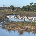 Love seeing the Roseate Spoonbills with these herons, egrets and Ibis.