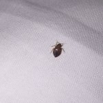 bed bug in my sheet