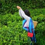 Bilde fra Heritance Tea Factory
