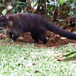 A White-nosed Coatimundi coming in to steal a banana.