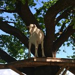 One of Fairview's resident goats
