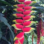 My favourite - Heliconia.
