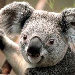They serve Koala.