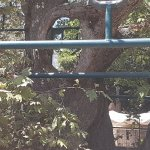 Hippocrates Tree Foto