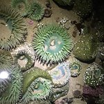 Sea anemones in surrounding tidepools at low tide.