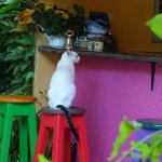 The cat ordering its milk at the bar!