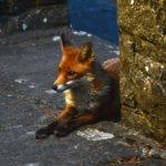 Friendly Fox!