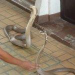 Photo de Snake Farm (Queen Saovabha Memorial Institute)
