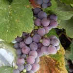 Fresh Grapes in Ston.