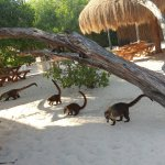 Coatis on the beach - Catcoons we called them.
